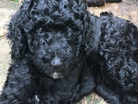 Double Doodle Puppies For Sale Minnesota North American Retriever Double Doodle Puppies Double Doodle Puppies For Sale