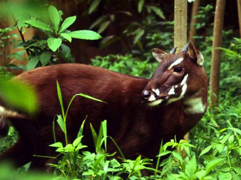 The Saola Siola Vu Quang Ox Spindlehorn Or Asian Bicorn Also Infrequently Vu Quang Bovid Pseudoryx Nghetinhensi Endangered Animals Animals Rare Animals