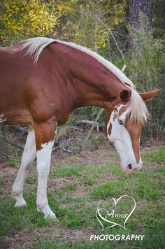 Cool marking this sorrel paint horse