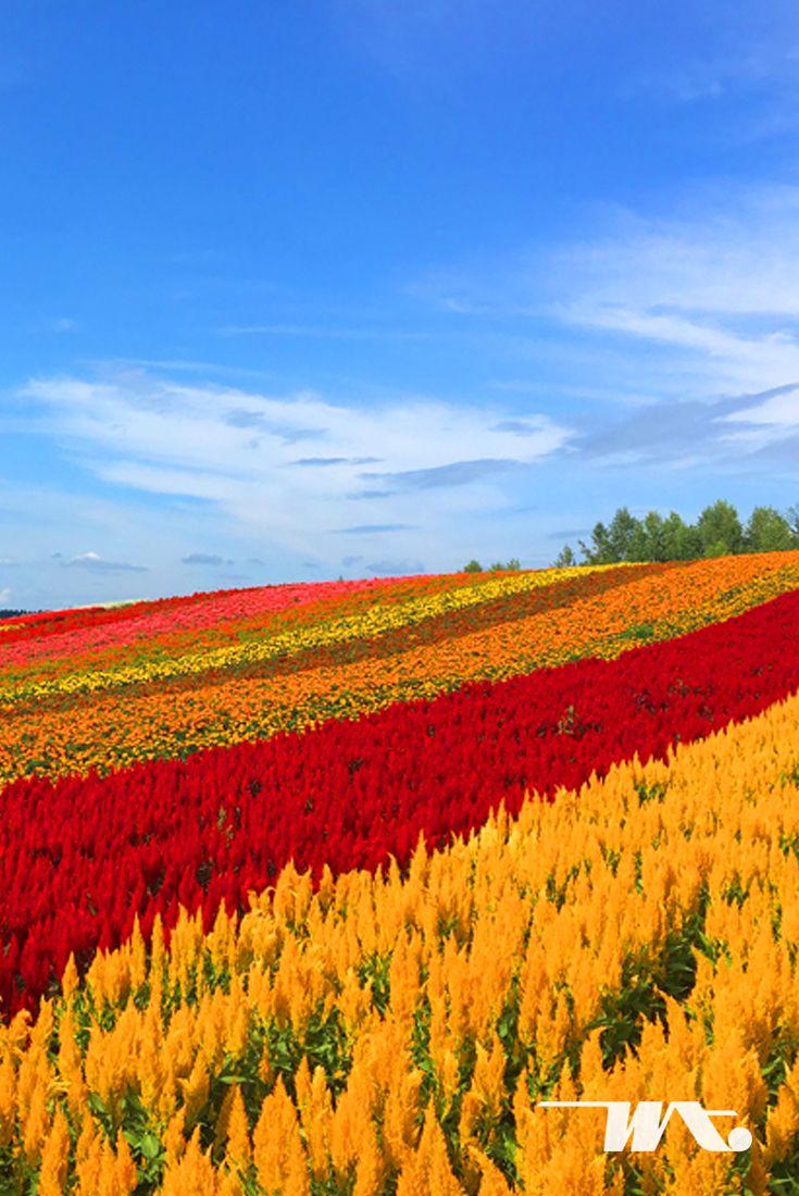 Nikmati Alam Jepang Dengan Terbang Langsung Ke Hokkaido Saat Liburan Musim Gugur Terletak Di Nakafurano Anda Bisa Menemukan Kebun T Dunia Penerbangan Jepang