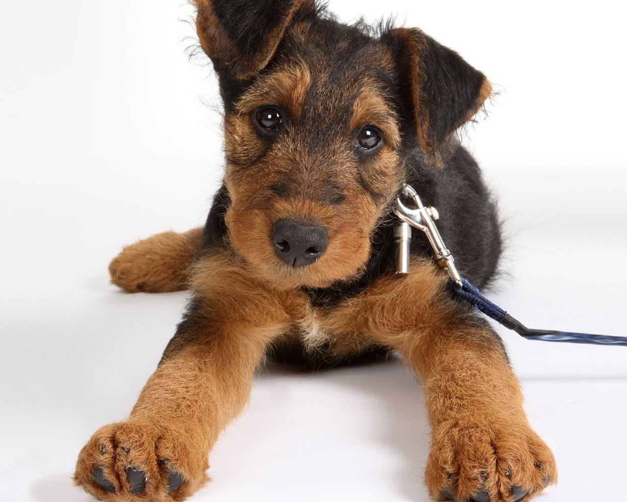 125 best images about Doggies on Pinterest | Airedale terrier ...