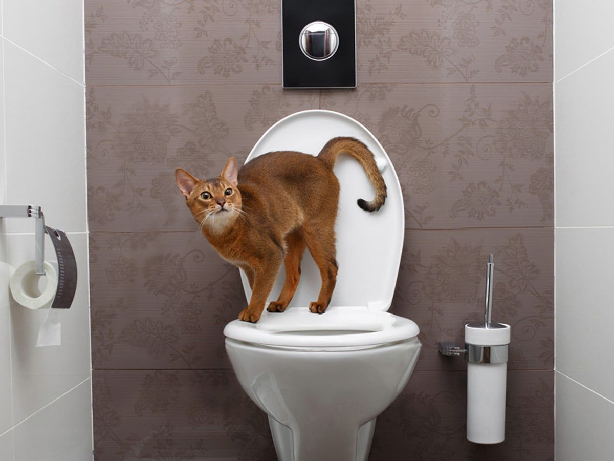 Why Do Cats Follow You Into The Bathroom Owning A Cat Spoiled Cats Cats