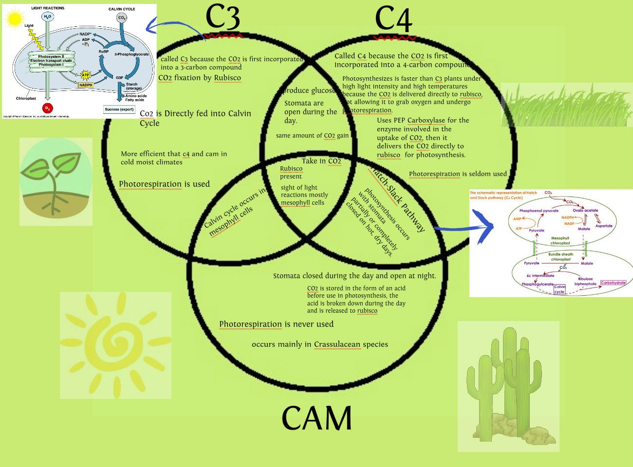 C3, C4 and CAM plants | Biology | Pinterest
