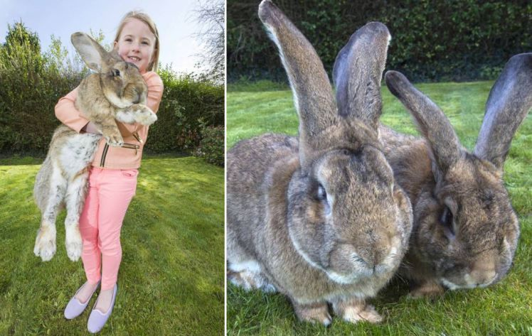 Image result for biggest bunny rabbit in the world