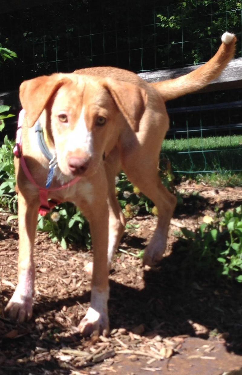Adopt Pippi on Adoptable beagle, Big fluffy dog rescue