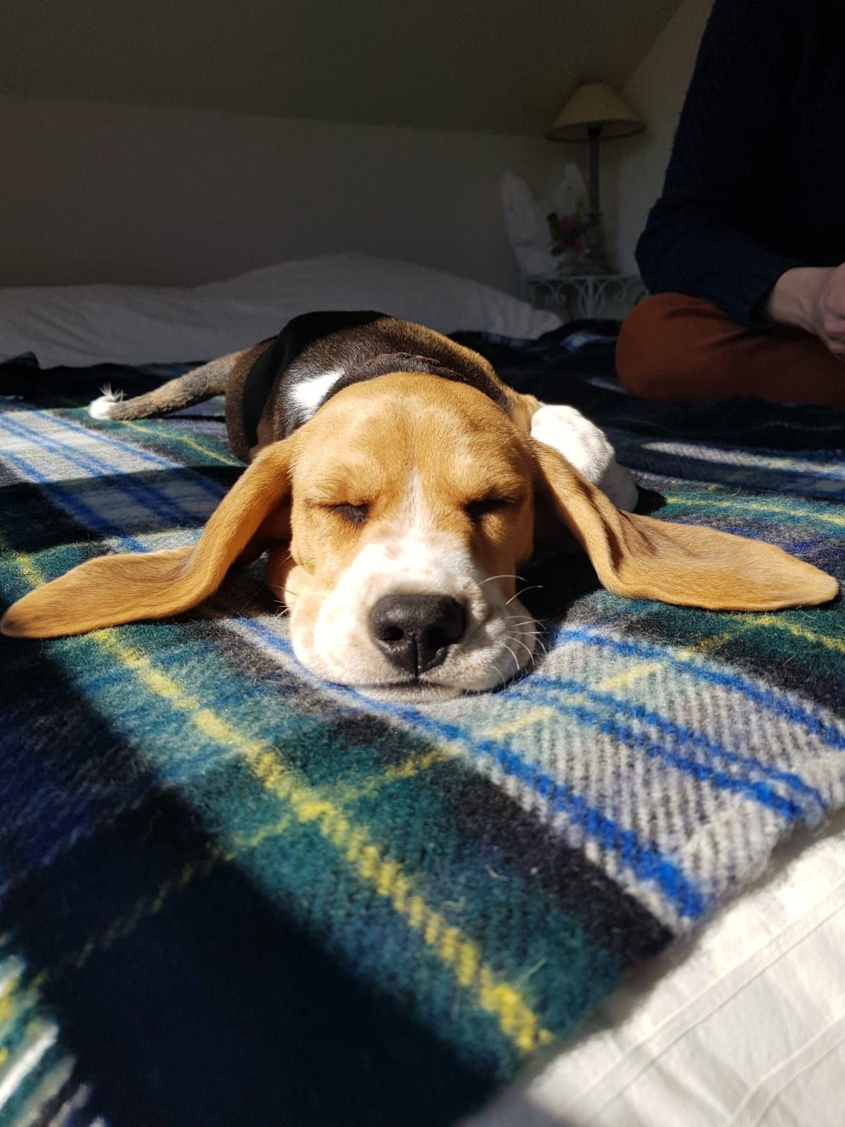 Baby pongo sleeping on bed the most adorable beagle pup ever