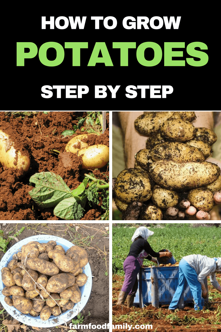How To Grow Potatoes Successfully From Planting To Storage