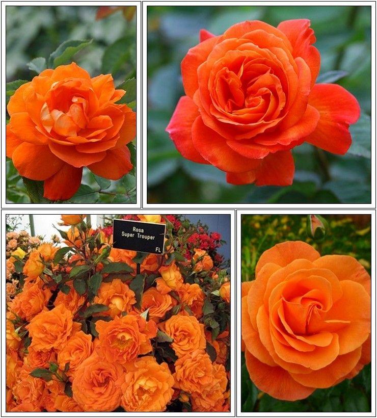 da1660646a52ee rabatowe pomarańczowe róże Super Trouper | Rośliny | Rośliny ...