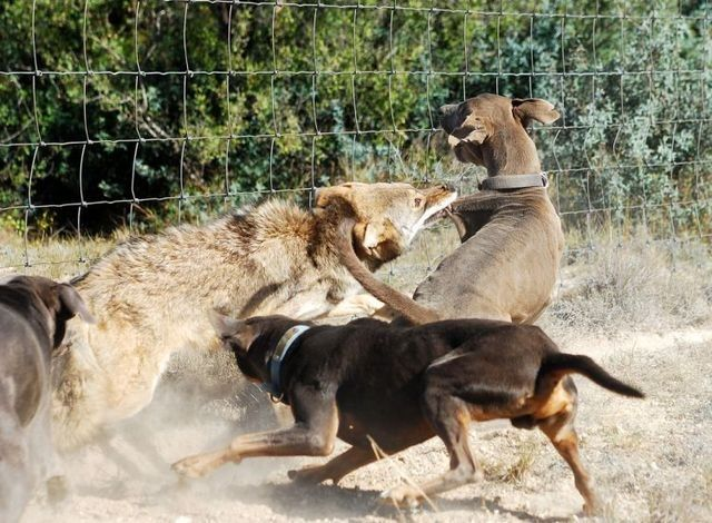 Wolf 03 Wolf vs Dogs   CLÉBARDS   Pinterest   Wolves and Dogs