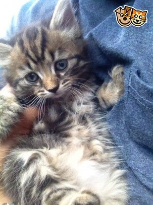 Enchanting Siberian Forest Kittens For Sale London East London Pets4homes Kittens Cutest Siberian Forest Kittens