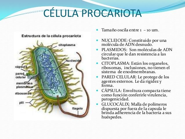 Celula Procariota Descripción De Las Diferentes Partes De