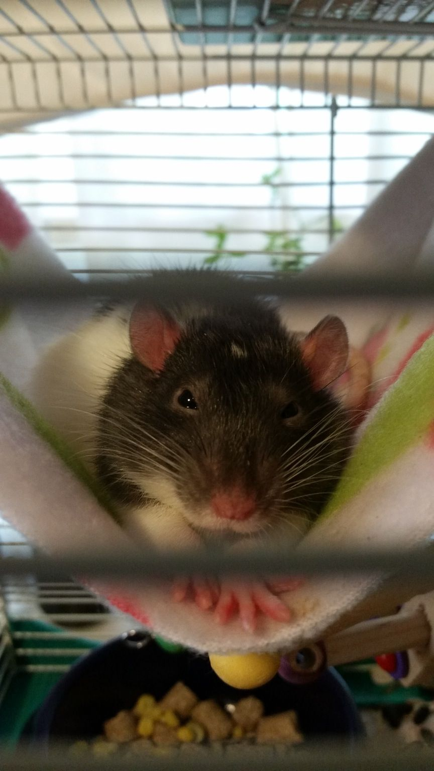 Pin by Alexzander on Rats Funny rats, Pet rats, Little pets
