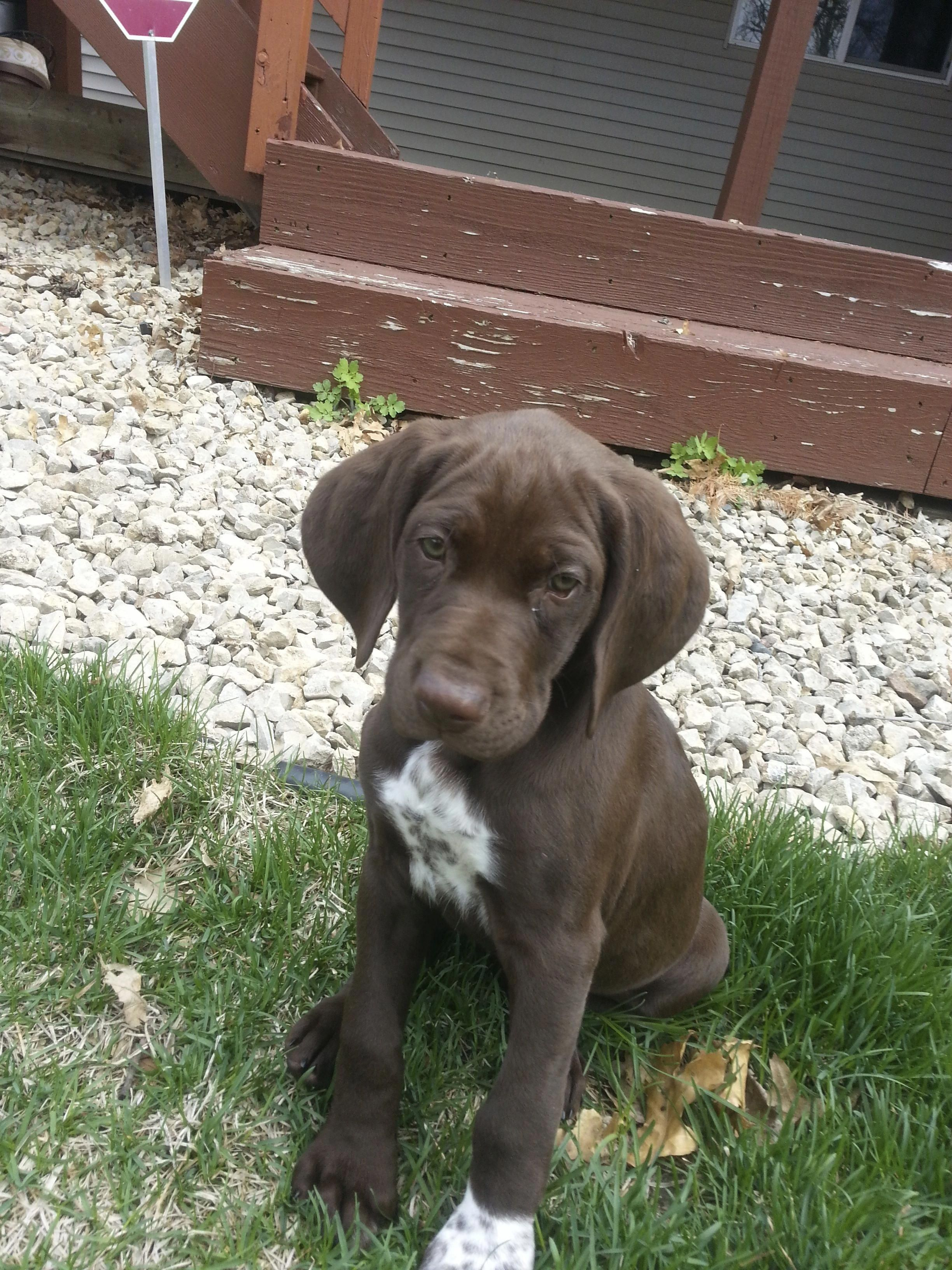 German shorthaired pointer image by julie umbarger on dogs