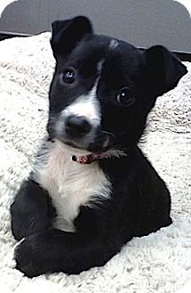 Jack Russell Terrier Boston Terrier Mix Puppy Terrier Jack