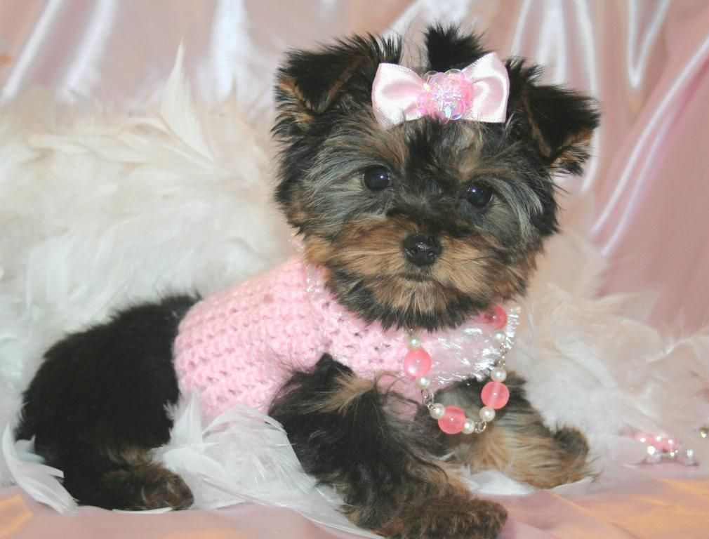 yorkie puppies - Google Search