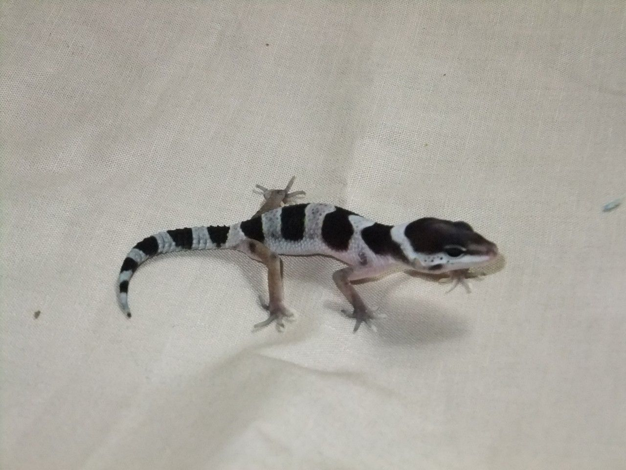 Mack Snow Hatchling   Leopard Gecko Morphs   Pinterest ...Leopard Gecko Hatchling