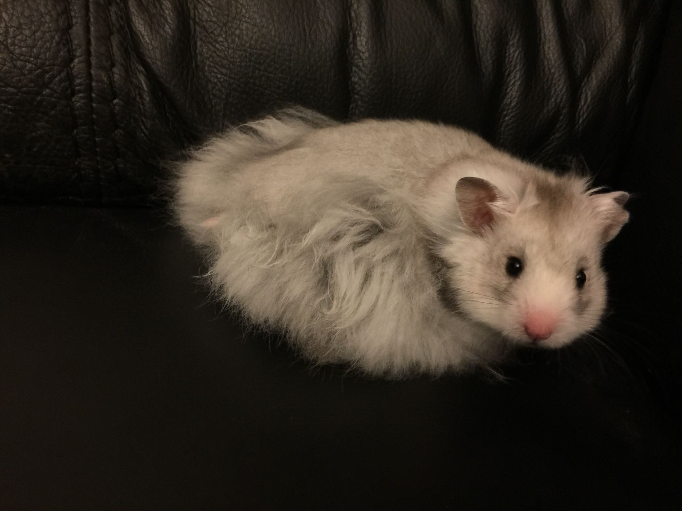 This is teddy my 12 week old silver grey long haired Syrian hamster. He is my heart hamster xx ...