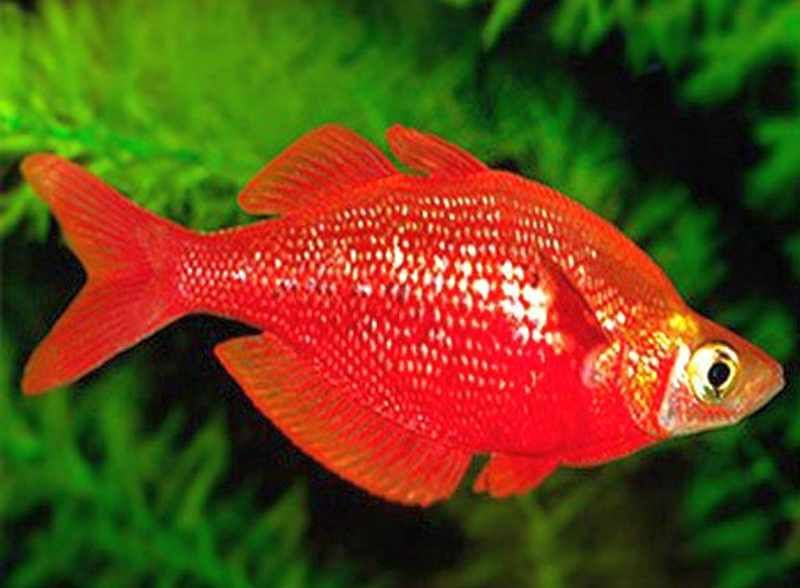 Red Rainbowfish Glossolepis Incisus Tropical Fish Keeping Fresh Water Fish Tank Betta Aquarium Rainbow Fish