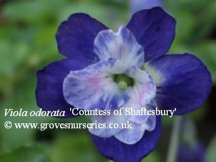 Countess of Shaftesbury Violet. (Kettle, 1928; Princess de Galles seedling). Mid-blue outer petals with rose-pink rosette. Long stems which are ideal for picking. One of the most beautiful varieties in cultivation in recent years. Listed in the early 1960s and after years of absence these plants are again available in limited quantities. £3.50