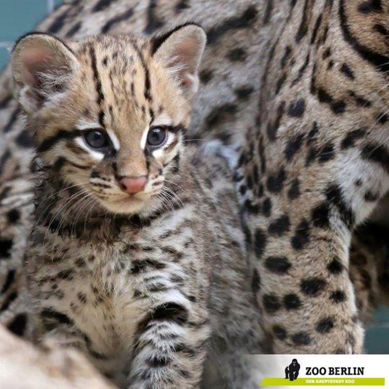 Ocelot, Zoos And Cat