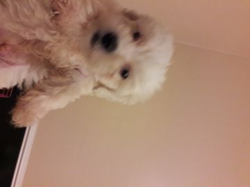 Maltipoo Puppy For Sale In Rocky Mount Nc Adn 52147 On