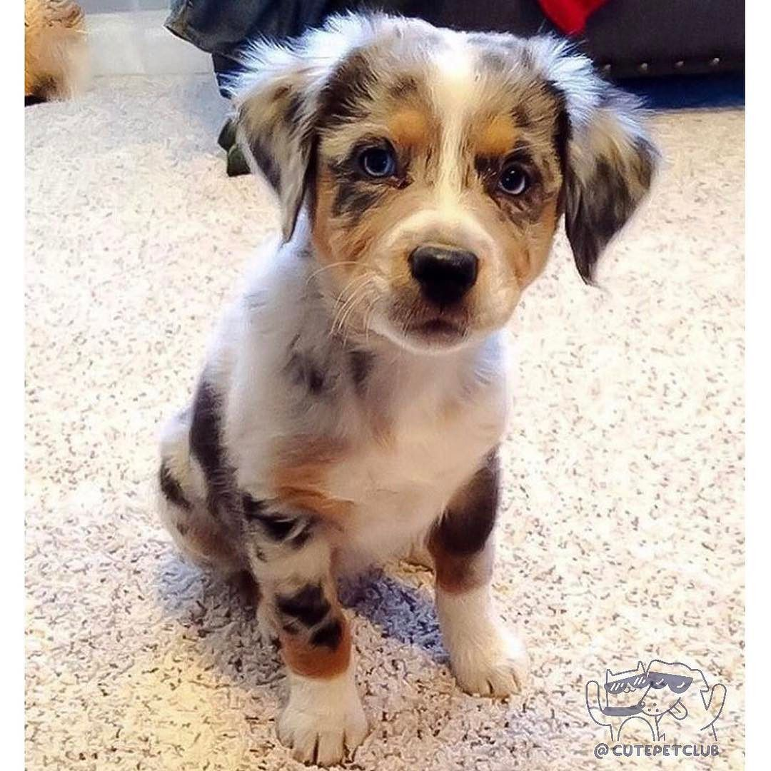 From Scarlett Pip Aussies Does This Face Give Australian Shepherd Dogs Australian Shepherd Aussie Puppies