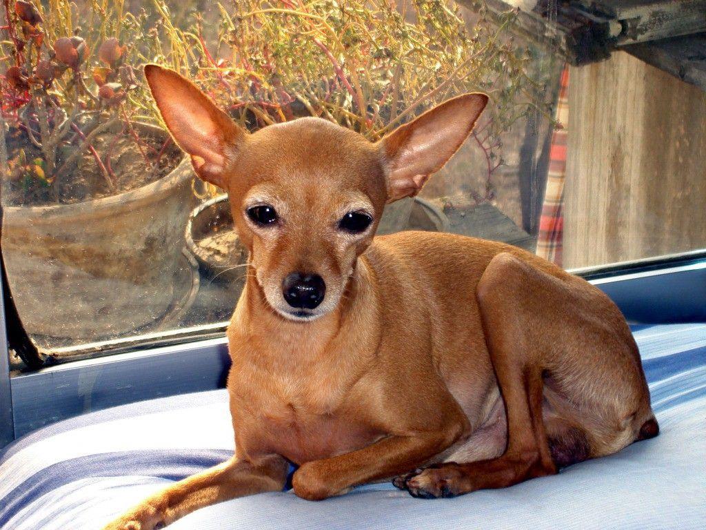 Chihuahua Deer Head Photo Shoot Apple Deer Head