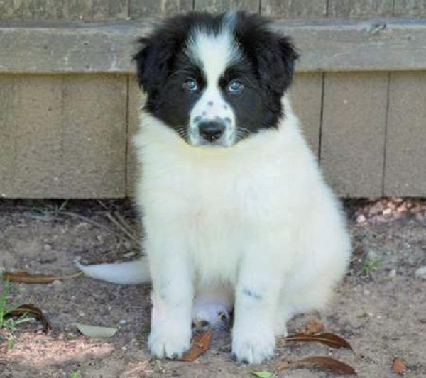 Great Pyrenees Border Collie Mix Puppies For Sale Zoe Fans Blog Border Collie Mix Puppies Border Collie Mix Unique Dog Breeds