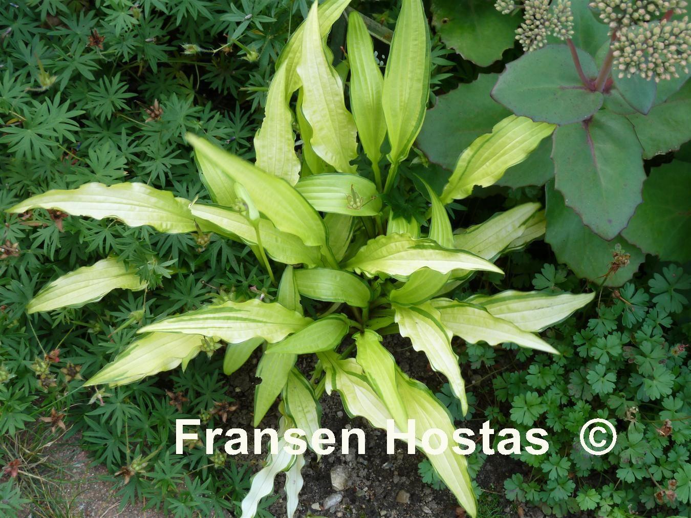 Hosta Kabitan 7 00 7 00 Blattpflanzen Pflanzen Garten Ideen