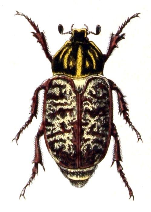 Polyphylla fullo female   from Calwer's Käferbuch: Naturgeschichte der Käfer Europas, Table 18, (1876), by Carl Gustav Calwer and Gustav Jäger  (illustration by Emil Hochdanz )