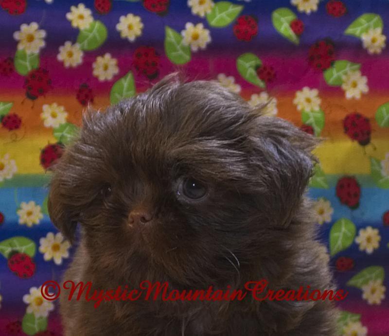Yorkshire Terriers Teacup Imperial Shih Tzu Yorkie Puppies Tn Ky Yorkie Puppy Yorkshire Terrier Teacup Yorkshire Terrier