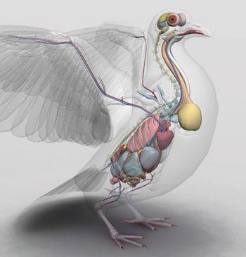 3D Bird Anatomy | Bird anatomy | Pinterest | Vogelkunde