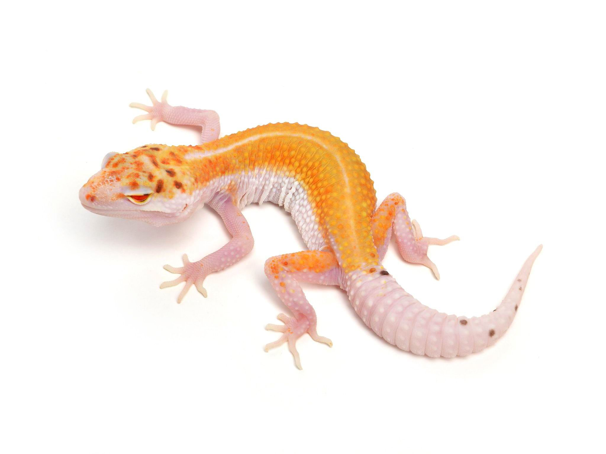White & Yellow Red-Eyed Enigma | Leopard Geckos | Leopard Geckos ...