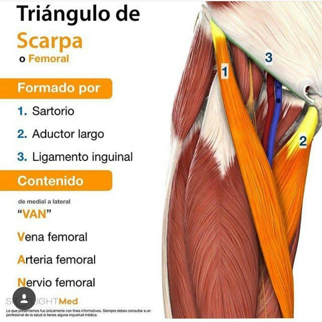 Triángulo de Scarpa | anatomy | Pinterest | Medicina, Anatomía y ...