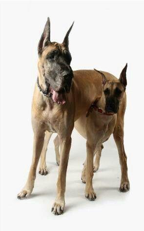 Great Dane Dog Breed Information Great Dane Dogs Dane Dog Big Dogs