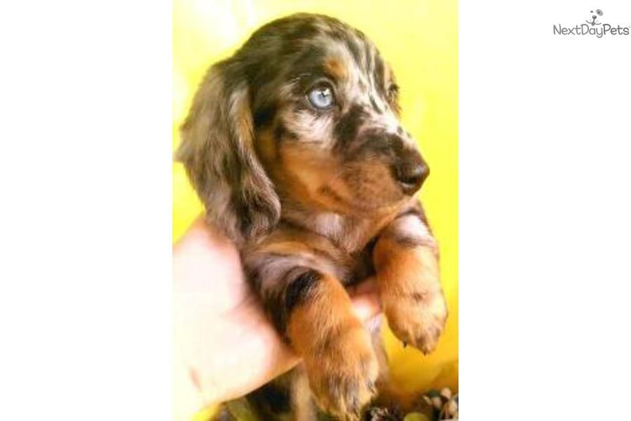 Dachshund Mini For Sale For 750 Near Southeast Missouri Missouri 3b6c61a8 A7d1 Mini Puppies Dachshund Mini For Sale