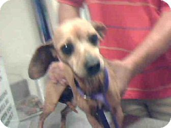 Plano Tx Dachshund Mix Meet Macy A Dog For Adoption Http