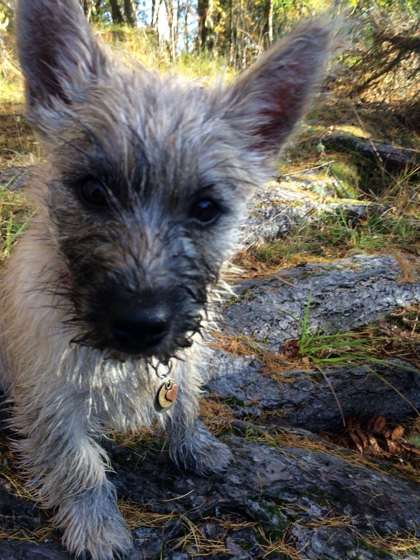 Bailey Cairn Terrier Terrier Best Dogs