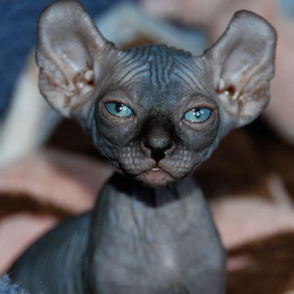 Ukrainian Levkoy Cat Cat Breeds Information Elf Cat Cute Cats Rare Cats