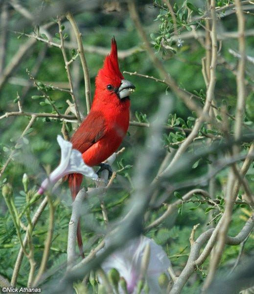 Vermilion Cardinal (Cardinalis phoeniceus)