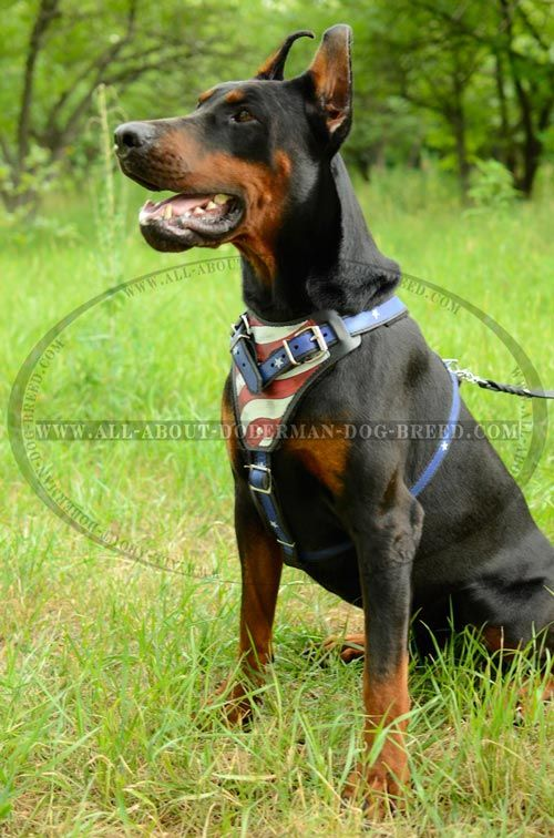 Extra Strong Protective Leather Doberman Harness American Pride