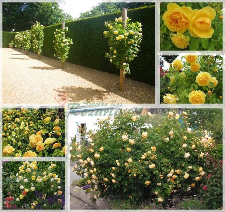 róze angielskie graham thomas