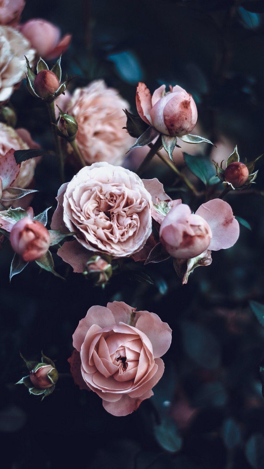Wallpaper Background Lockscreen Iphone Pink Rose Roses