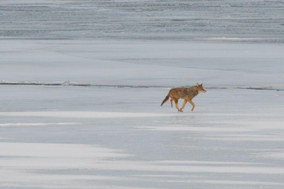 نتيجة بحث الصور عن Coyote + jog