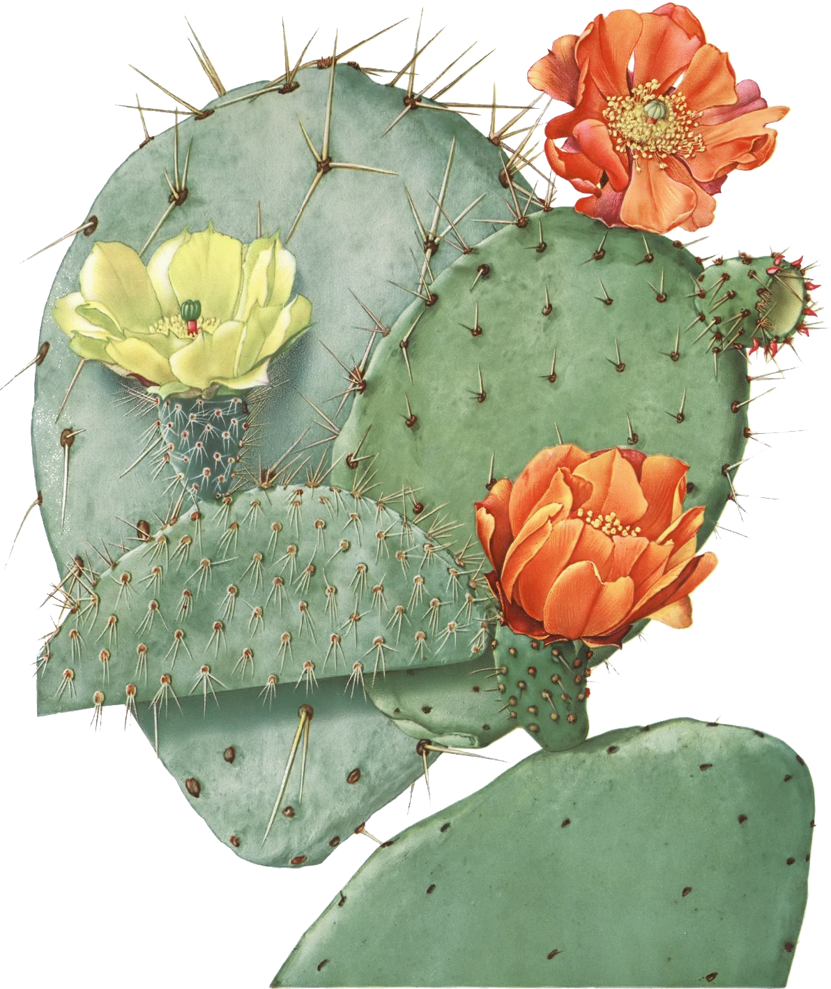 image result for prickly pear illustration texas things