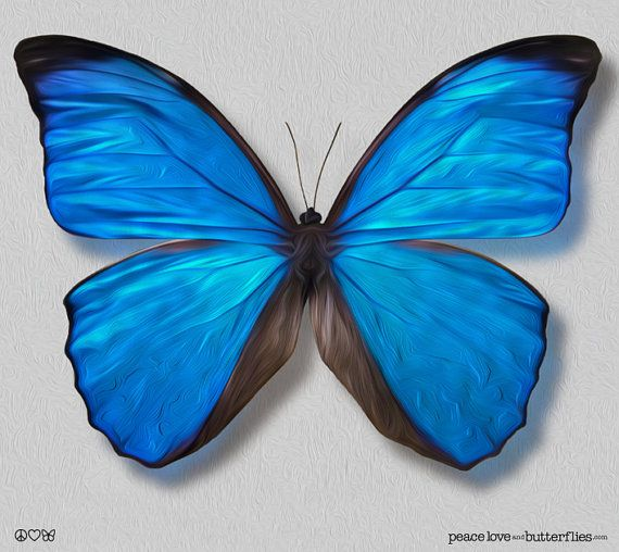 True Blue Morpho Butterfly Wings Painted Shimmer Bright Vivid On Gallery Quality Canvas Art Options Peace Love And Butterflies Com Fjärilar