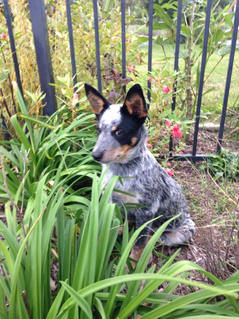 Our Australian Cattle Dog Blue Heeler Puppy At Almost 4 Months
