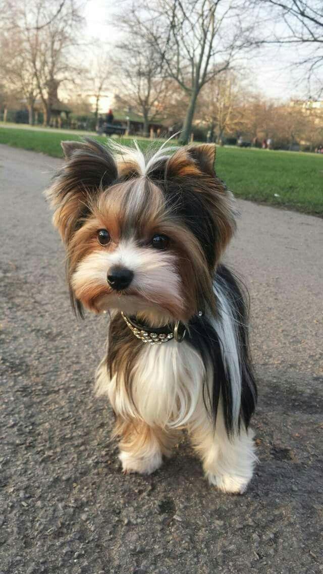 Cute dog Terrier mix Yorkie puppy, Terrier puppies