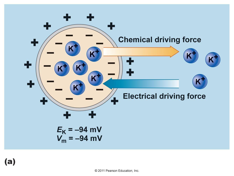 Elektrochemische Gradient Biology Science Fair Projects Pearson Education Physiology