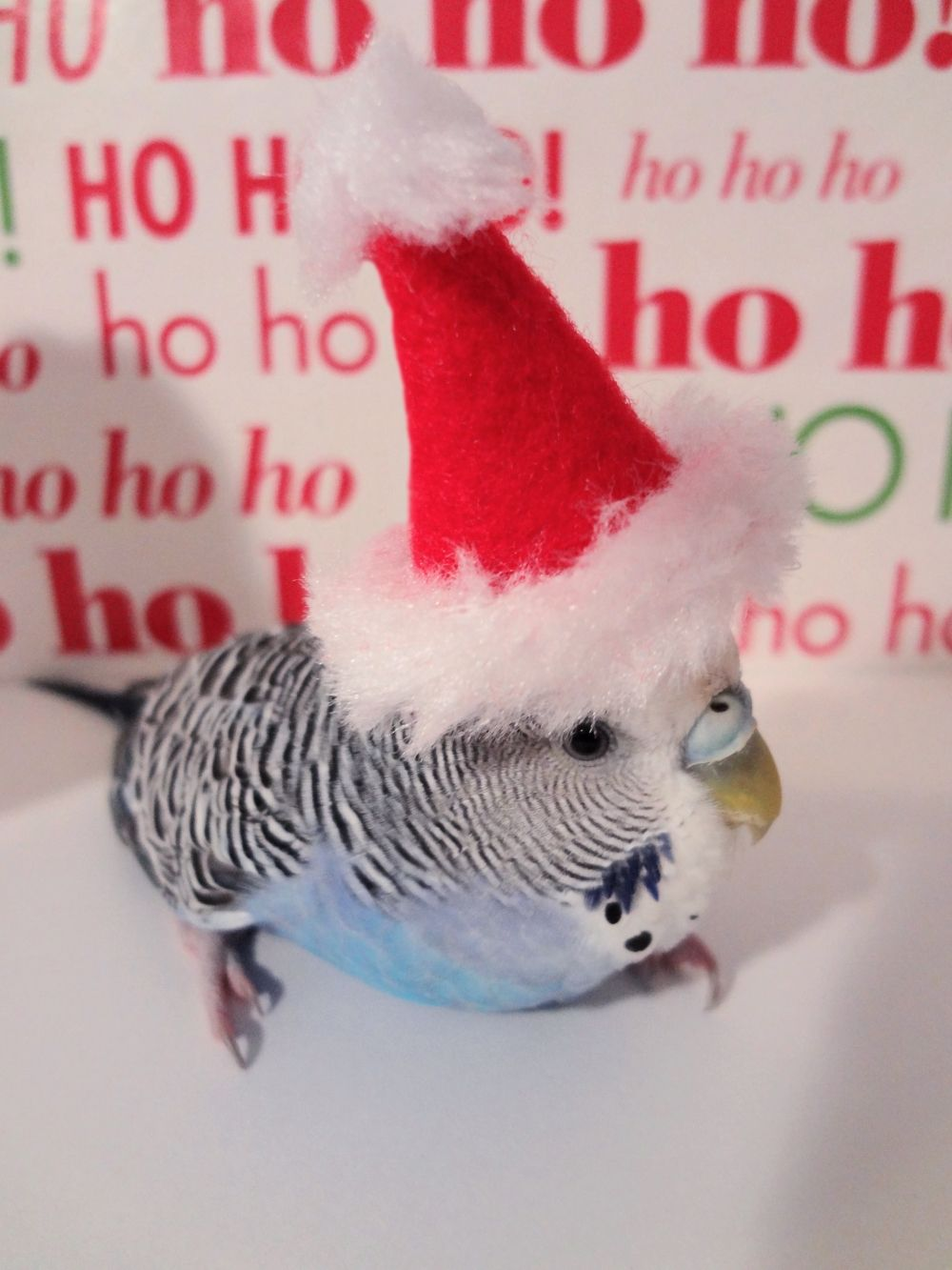 Christmas Budgie.